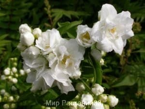 Чубушник гибридный Букет Бланк (Bouquet Blanc)