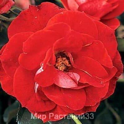 Роза полиантовая Bordure Vermillon. Бордюр Вермиён. Дельбар. Delbar