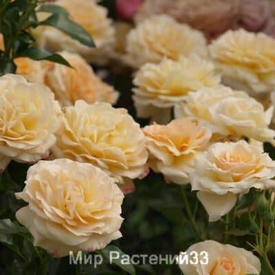 Роза флорибунда Angie. Анжи. Дельбар. Delbar