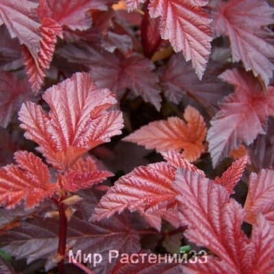 Пузыреплодник калинолистный Леди ин Ред (Lady in Red)