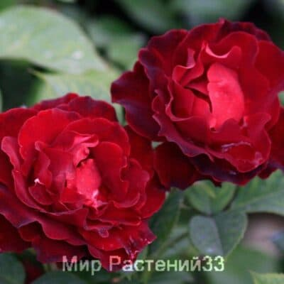 Роза чайно-гибридная Heinz Winkler. Хайнц Винклер. Дельбар. Delbar