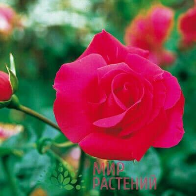 Роза чайно-гибридная Crêpe de Chine. Креп де Шин. Дельбар. Delbar