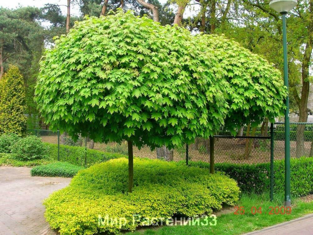Клён остролистный Глобозум (Globosum)