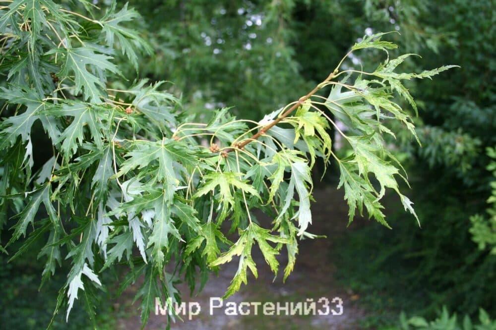 Клён серебристый (saccharinum)