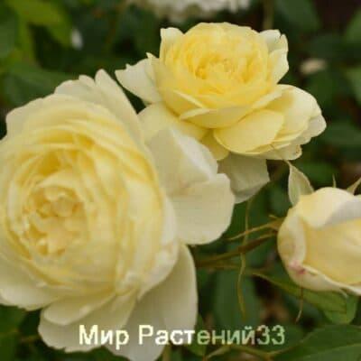 Роза кустовая Vanessa Bell. Ванесса Белл. Дэвид Остин.