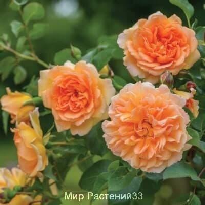 Роза кустовая Dame Judi Dench. Мортимер Саклер. Дэвид Остин.