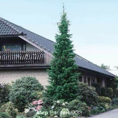 Ель сербская (Picea omorika)