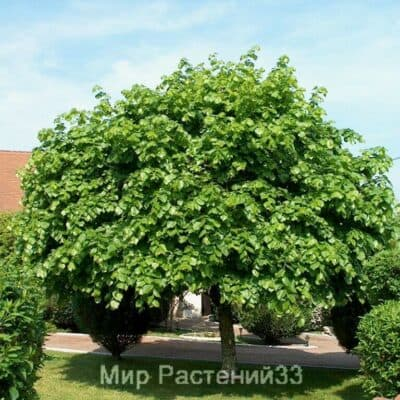 Липа крупнолистная (platyphyllos)