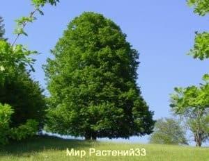 Липа мелколистная (сordata)