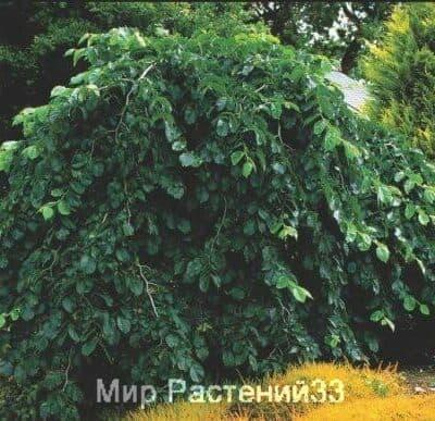 Вяз шершавый Пендула (Pendula)