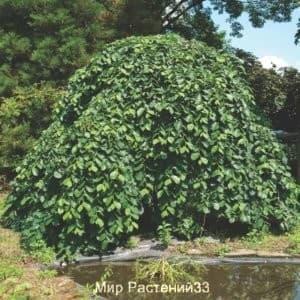 Вяз шершавый (Pendula)