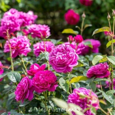 Роза кустовая James L. Austin. Джеймс Л. Остин. Дэвид Остин.