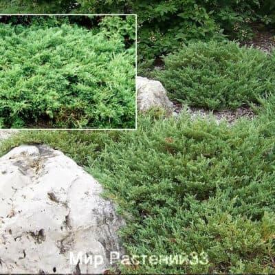 Можжевельник горизонтальный Плюмоза (Plumosa)