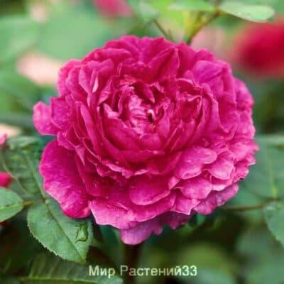 Роза кустовая Noble Antony. Нобель Энтони. Дэвид Остин.