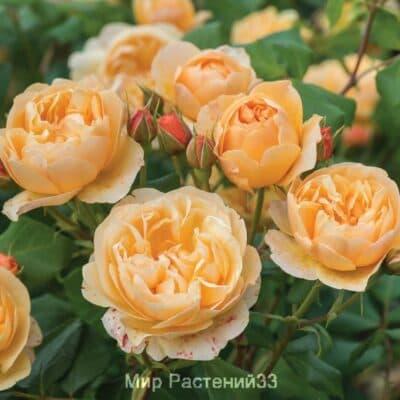 Роза кустовая Roald Dahl. Роал Дал. Дэвид Остин.