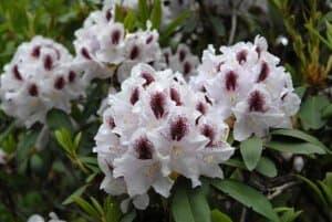 Рододендрон крупноцветковый Калсап (Calsap)