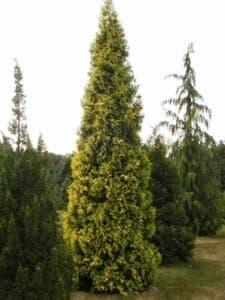 Туя западная Ауресценс (Aurescens)