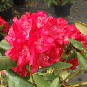 Рододендрон крупноцветковый Бусуки (Busuki)