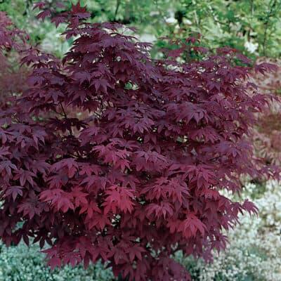 Клён дланевидный Атропурпуреум (Atropurpureum)