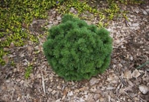 Сосна горная Литомил (Litomyšl)