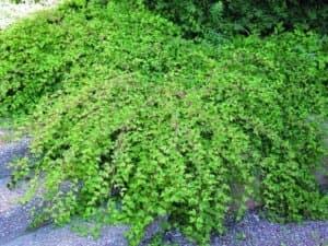 Стефанандра надрезаннолистная Криспа (Crispa)