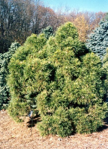 Сосна обыкновенная Глобоза Виридис (Globosa Viridis)