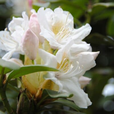 Рододендрон якушиманский Канингемс Уайт (Cunningham's White)