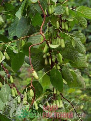 Актинидия пестролистная (коломита) Vitakola. Витакола.
