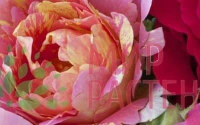 Розы Дельбар (Франция)