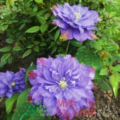 Клематис крупноцветковый ранний Blue Explosion. Блю Экспложин.