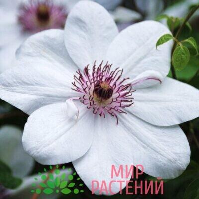 Клематис крупноцветковый ранний Królowa Jadwiga. Кролова Ядвига.2