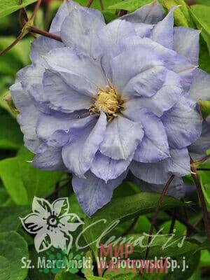 Клематис крупноцветковый поздний Mazury. Мазури.