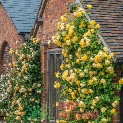 Розы плетистые Дэвида Остина