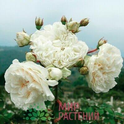 Французские нуазетовые розы