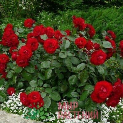 Российские полиантовые розы