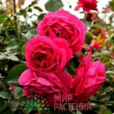 Розы российской селекции