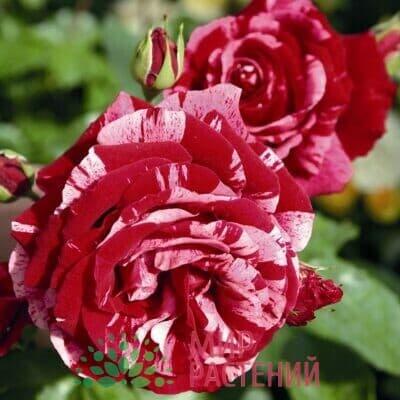 Розы Флорибунда Тантау