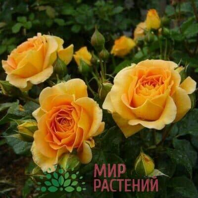 Розы Тантау (Германия)