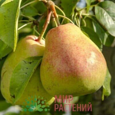 Груша Осенняя Яковлева