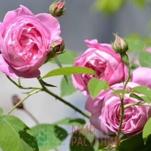 Французские ремонтантные розы