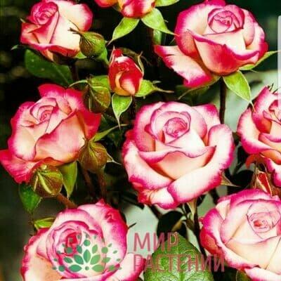Российские розы Флорибунда