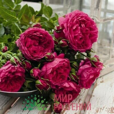 Розы кустовые Тантау