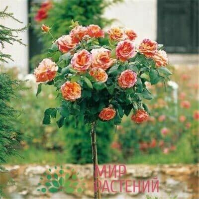 Французские штамбовые розы