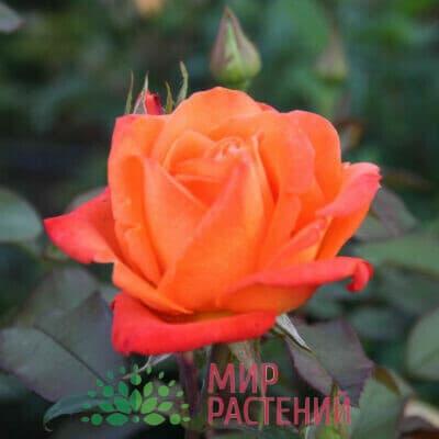 Российские чайно-гибридные розы