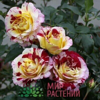 Французские розы Флорибунда Дельбар