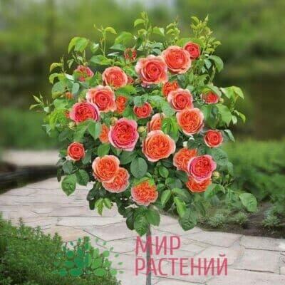 Розы штамбовые Тантау