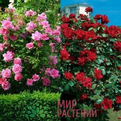 Французские плетистые розы