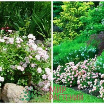 Французские полиантовые розы