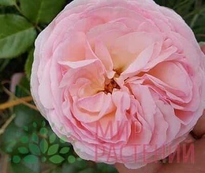 Французские розы Шрабы
