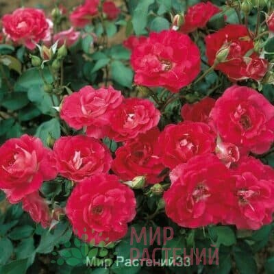 Французские бордюрные розы
